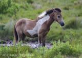 Chincoteague Horses-0098.jpg