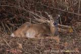 White-tailed Deer-4012.jpg