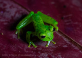 Emerald Glass Frog-4583.jpg