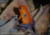Strawberry Poison Dart Frog-9101.jpg
