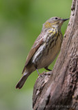 Cape May Warbler (8)