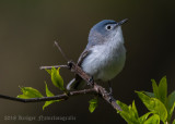 Blue-gray Gnatcatcher (8)