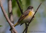 American Redstart (female)-7355.jpg