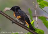 American Redstart (male)-7537.jpg