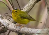 Wilson's Warbler (male)-7426.jpg