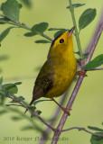Wilson's Warbler (male)-7529.jpg