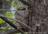 Great Horned Owl (12)