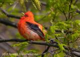Scarlet Tanager-7560.jpg