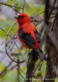 Scarlet Tanager-7714.jpg