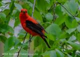 Scarlet Tanager-7720.jpg