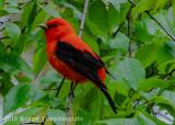 Scarlet Tanager-7739.jpg