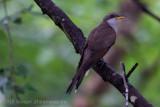 Yellow-billed Cuckoo (3)