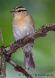Worm-eating Warbler-7822.jpg