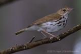 Ovenbird (5)