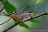 Worm-eating Warbler-7905.jpg