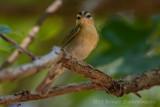 Worm-eating Warbler-7911.jpg
