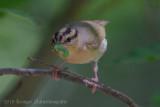 Worm-eating Warbler (7)