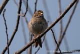 Clay-colored Sparrow (1)