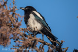Black-billed Magpie (5)