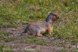 Columbian Ground Squirrel-8444.jpg