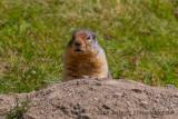 Columbian Ground Squirrel-8450.jpg
