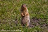 Columbian Ground Squirrel (3)