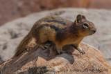 Golden-mantled Ground Squirrel (4)