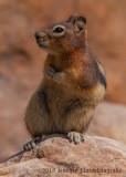 Golden-mantled Ground Squirrel-8517.jpg