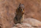 Golden-mantled Ground Squirrel-8519.jpg