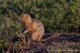 Black-tailed Prairie Dog (3)