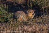 Black-tailed Prairie Dog-8391.jpg