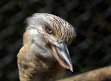 BlueWinged Kookaburra