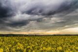 clouds and rape field