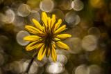 yellow with bokeh