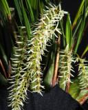 20171472  -  Dendrochilum  yuccifolium  'Michael Olbrich'  CCM/AOS  (88-points)  2-4-2017  (Olbrich Graden)  plant