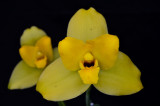 20171455 -  Lycaste  Memoria  Bill  Congleton  'Sun King'  AM/AOS  (84-points)  1-28-2017  (Orchids, Ltd.)  flower