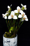 20171456  -  Lycaste  Rakuhoku  'Marilyn'  CCM/AOS  (85  -  points)  1-28-2017  (Orchids, Ltd.)  plant