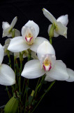 20171456  -  Lycaste  Rakuhoku  'Marilyn'  CCM/AOS  (85  -  points)  1-28-2017  (Orchids, Ltd.)  flower