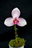 20171465  -  Lycaste  Spring  Performer  'Winter  Rose'  AM/AOS  (82  -  points)  1-28-2017  (Orchids,  Ltd.)  plant