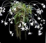 20171479  -  Laelia anceps v Dawsonii  'Jo  Bailey'  CCM/AOS  (87  points) 1-28-2017  (Marjorie McNeely Conservatory)  plant