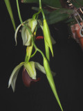 20171469  -  Coelogyne usitana 'Michael Olbrich' CCM/AOS  (85-points)  2-4-2017  (Olbrich Garden)  Flower 2