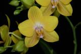 20171508  -  Phal.  Lioulin  Lawrence  'Dusty's Sunshine G847'  HCC/AOS  (77 points)  5-13-2017  (Lois & Nile Dusdieker) flower