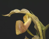 20171502  -  Paph.  platyphyllum  'Twin  Sisters'  CBR/AOS  3-18-2017  (Terry  Partin)  flower