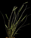 20171515  -  Myoxanthus  antennifer  'Memoria  Lillie'  CBR/AOS  7-23-2017  (Larry  Sexton)  plant