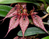 20171527  -  Bulbophyllum  Crownpoint  'Timberlane'  AM/AOS  (82)  9-9-2017  (Marcia  Whitmore)