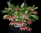 20171528  -  Bulbophyllum  Crownpoint  'Timberlane'  CCM/AOS  (85)  9-9-2017  (Marcia  Whitmore)