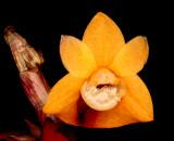 20171538  -  Dendrobium  lawesii  var.  bicolor  Rosalie  AM/AOS  (81  points)  10-14-2017  (Joe  Dixler)  flower