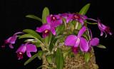 20171537  -  Cattleya  pumila  Kokusai  AM/AOS  (84  points)  10-14-2017  (William  Rogerson)  plant