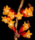 20171538  -  Dendrobium  lawesii  var.  bicolor  'Rosalie'  AM/AOS  (81  points)  10-14-2017  (Joe  Dixler)