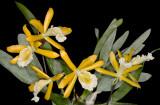 20171544  -  Prosthechea  Marina  'Grace's  Delight'  HCC/AOS  (78  points)  10-14-2017  (Grace  Arbuckle)  plant